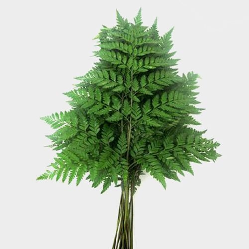 Leather Leaf Fern Bulk